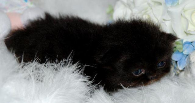 Black female CFA cert Persian kitten for Sale in Wesley Chapel ...