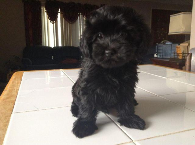 Black Maltipoo For Sale In California Classifieds Buy And Sell In