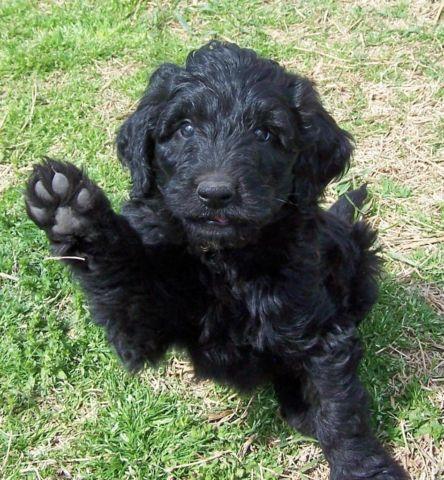 Black Goldendoodle Puppies Goldenacresdogscom