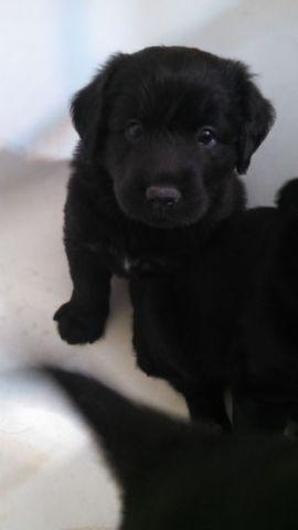 Black Lab German Shepherd And Golden Retriever Mix For Sale In
