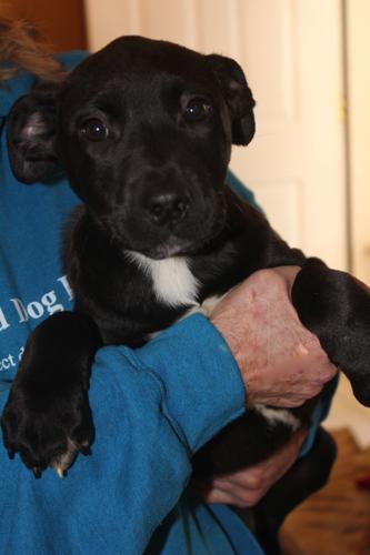 BLACK LAB MIX PUP Labrador Retriever Baby - Adoption, Rescue