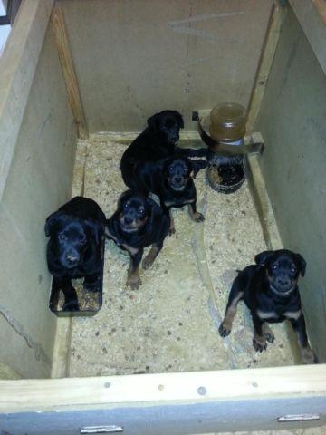 Black Lab/ Rottweiler mix puppies for adoption - 8 weeks old