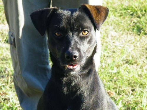 Black Labrador Retriever - Coco - Medium - Young -