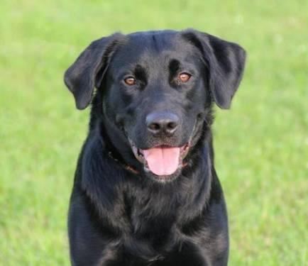 Black Labrador Retriever - Diesel - Large - Adult -