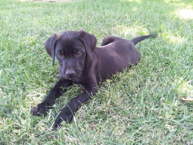 Black Labrador Retriever Puppies For Sale In San Diego