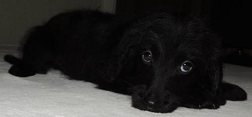 Black Male Miniature F1 Labradoodle Christmas Puppy For