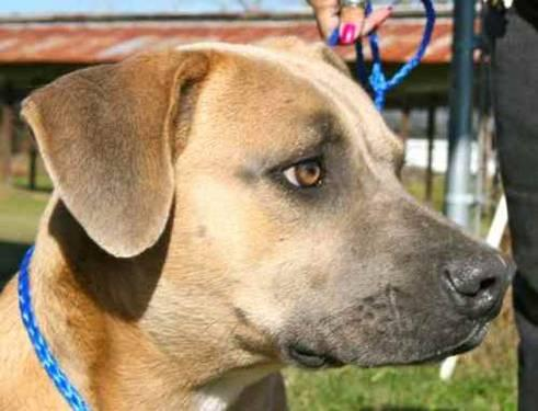 Black Mouth Cur - Alvin - Medium - Adult - Male - Dog