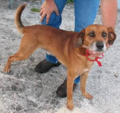 Black Mouth Cur - Barney (urgent) - Large - Young -