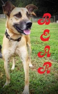 Black Mouth Cur - Bear (local) - Large - Adult - Male -