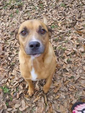 Black Mouth Cur - Puppy - Medium - Adult - Male - Dog