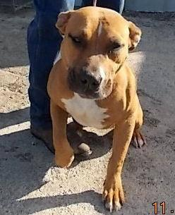 Black Mouth Cur Troy Medium Young Female Dog For