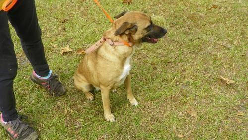 Black Mouth Cur - Troy - Medium - Young - Female - Dog