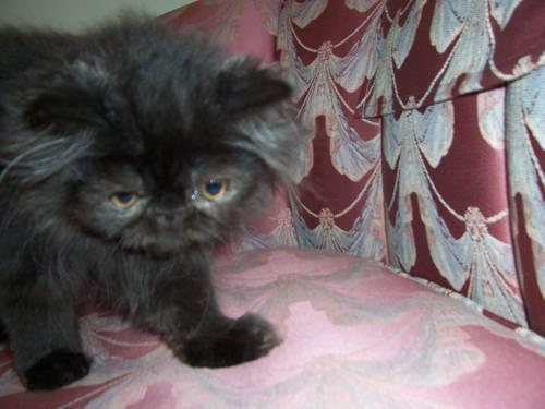 black persian kitten for sale ma ct border for sale in dudley hill