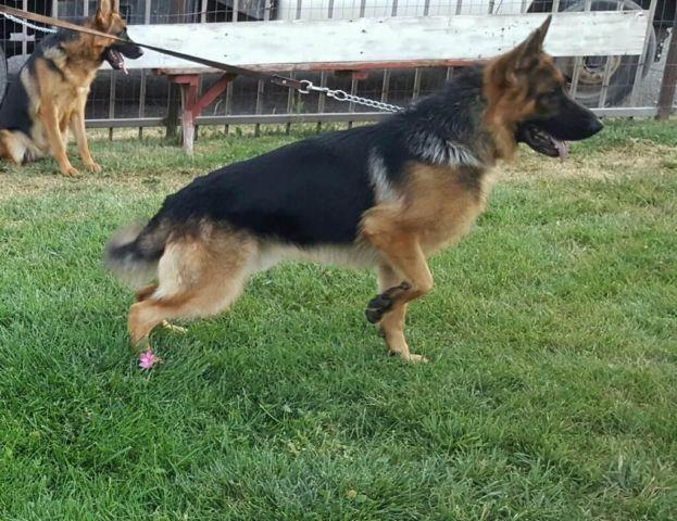 Blackred Akc German Shepherd Puppies For Sale In Hollister Idaho