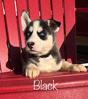 Black Siberian Husky Puppy Female