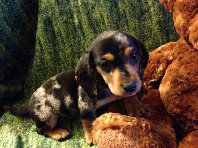 Black & Tan dapple male-smooth dachshund for Sale in El ...  Black & Tan dap...