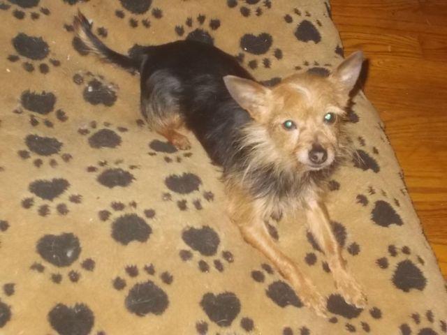 Black Amp Tan Female Chorkie Chihuahua Yorkie Mix 6 Years