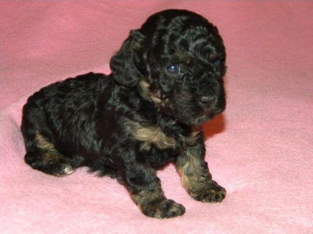 Black Tan Phantom Female Large Toy Poodle Puppy For Sale