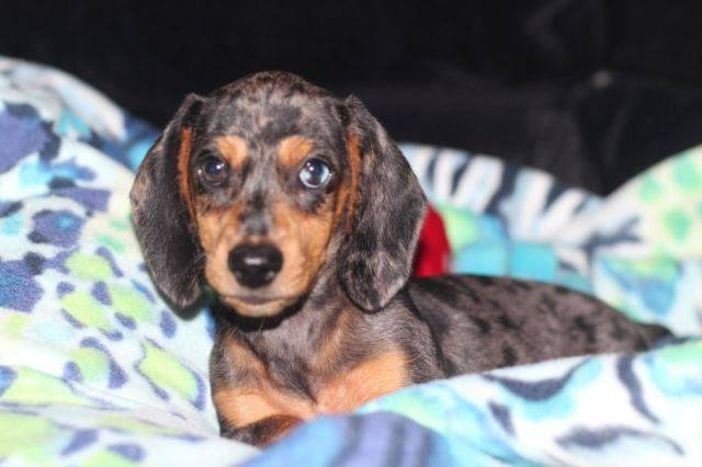 Black/tan silver dapple mini dachshund puppy, with one ...  Black/tan silve...