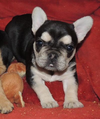 Black Tan White Female French Bulldog Puppy 6 Weeks Old