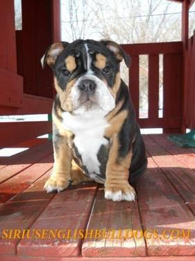 Black Tricolor English Bulldog Puppies For Sale In Waukesha