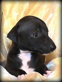Black W White Italian Greyhound Puppy Rtg Nov 28th For