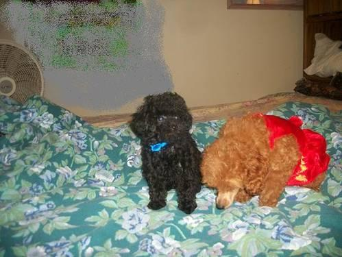 Black teacup'tiny toy male poodle for Sale in Nashville, Tennessee