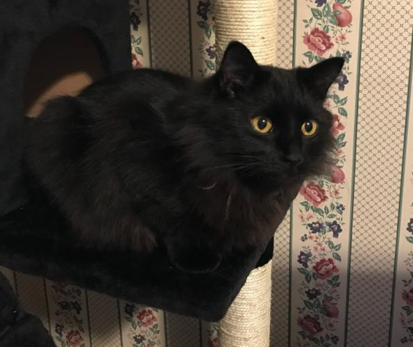 Blackie Domestic Medium Hair Adult - Adoption, Rescue