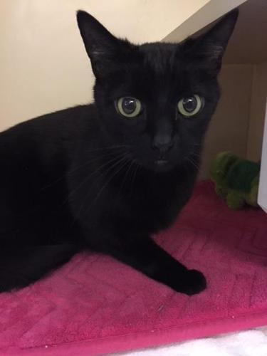 Blacky :At Mentor Petsmart daily Domestic Short Hair