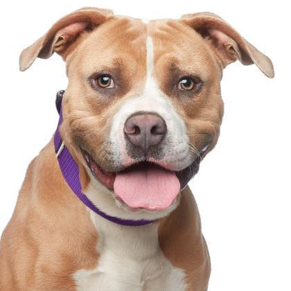 Blake Pit Bull Terrier Young - Adoption, Rescue