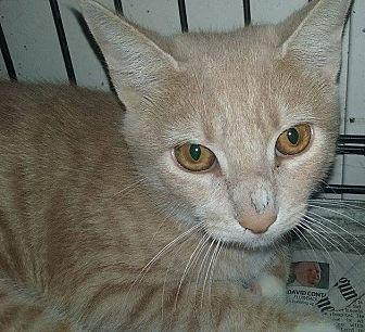 Blonde Domestic Shorthair Young Male