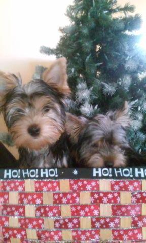 Blonde Yorkie Classifieds Buy Sell Blonde Yorkie Across The Usa