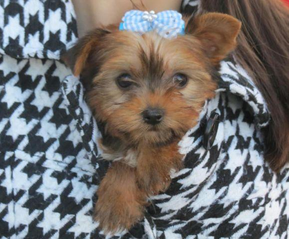 yorkie rescue kentucky blonde teacup yorkie for sale in francisville kentucky 6005