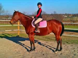 Blood Bay Quarter Horse Mare Lease City View Equestrian