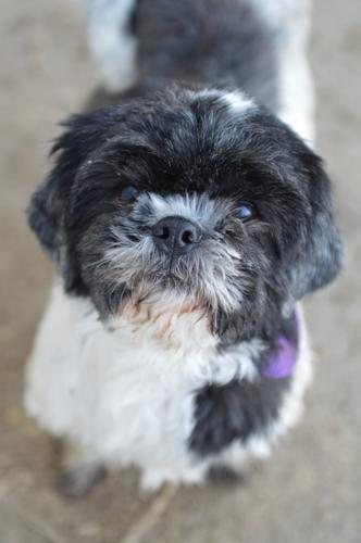 Blossom Shih Tzu Adult Adoption Rescue For Sale In