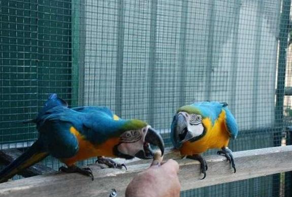 Blue and Gold Macaw Breeding Pair ready for new