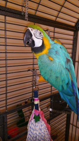 Blue and Gold Macaw Pair