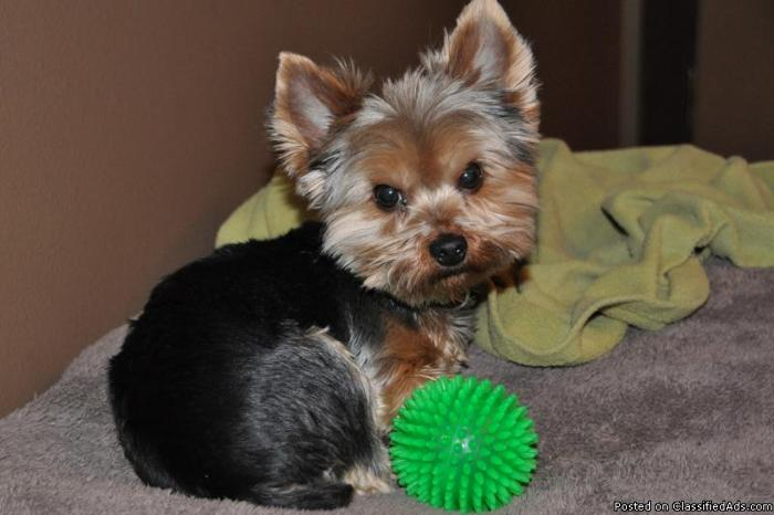 yorkshire terrier colors blue gold blue and gold yorkshire terrier for sale in sioux falls 200