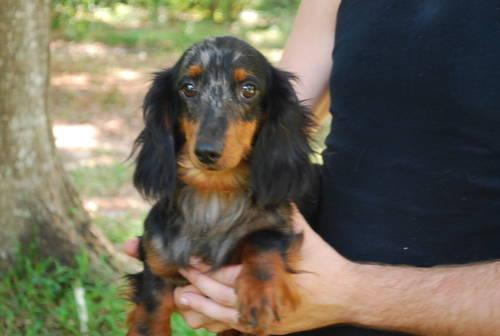 Blue And Red Dapple Female Dachshunds Available Now For Sale In Middleburg Florida Classified