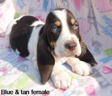 blue and tan female basset hound puppies for sale in