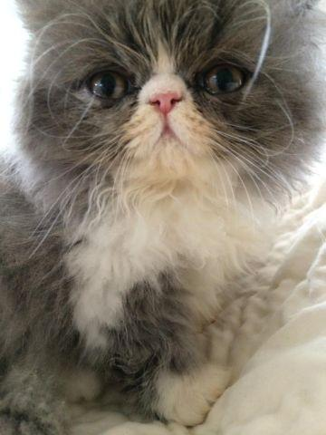 Blue and white male persian kitten, Grand Champion