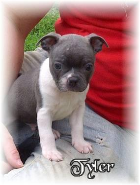 blue boston terrier puppies blue boston terrier puppy for sale in fremont missouri 9796