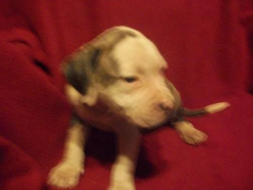 Blue Brindle American Pit Bull Terrier Puppies