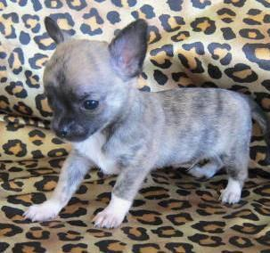 brindle chihuahua for sale blue brindle chihuahua male pup registered for sale in 6227