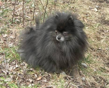 blue brindle female pomeranian for sale in cass city
