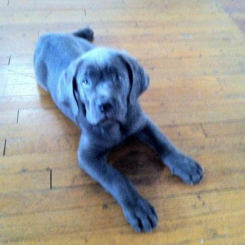 Blue Cane Corso Male Puppy For Sale In Youngstown Ohio Classified Americanlisted Com