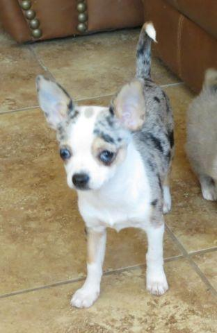 Blue Eyed Blue Merle Female Chihuahua Puppy For Sale In