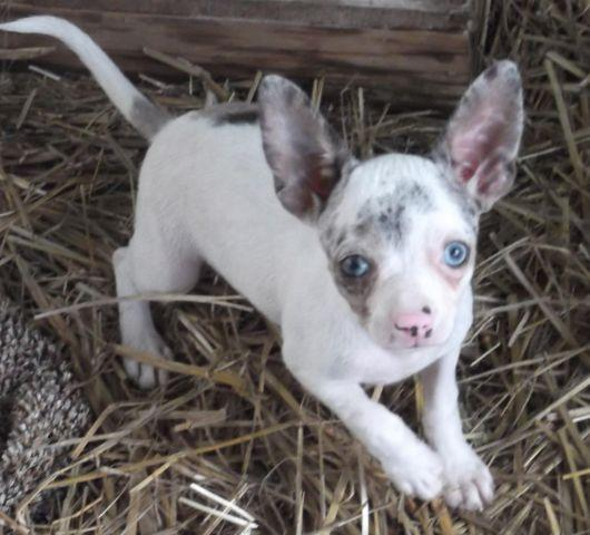 blue eyed chihuahua blue eyed chihuahua female pup aca reg 14 weeks old 7694