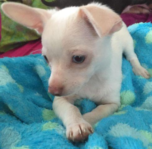 Blue-eyed Chihuahua puppy