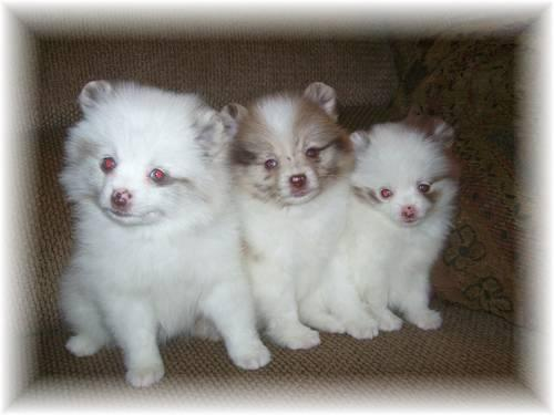 BLUE EYED CHOCOLATE MERLE PARTI POM PUPPIES